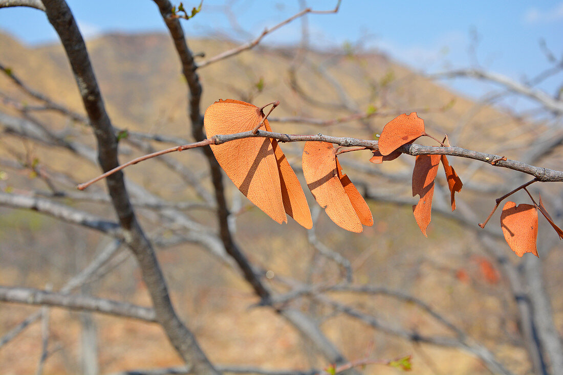 Angola; in the western part of the province of Cunene; butterfly-winged leaves of the Mopane tree; discolored red-orange