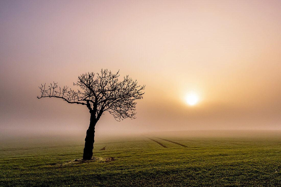 Tree in the fog in the morning, tree, field, fog, morning mood