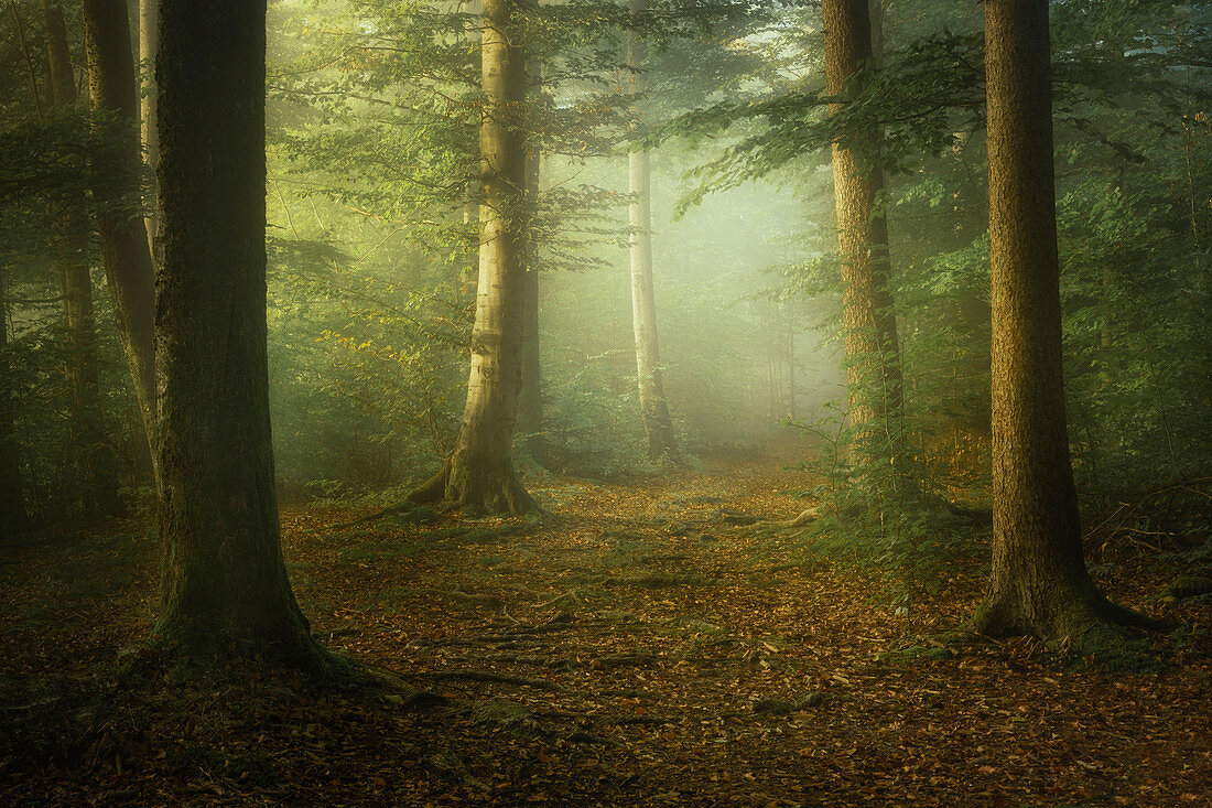 European beech forest in the south of Muchen in autumn, Bavaria, Germany, Europe