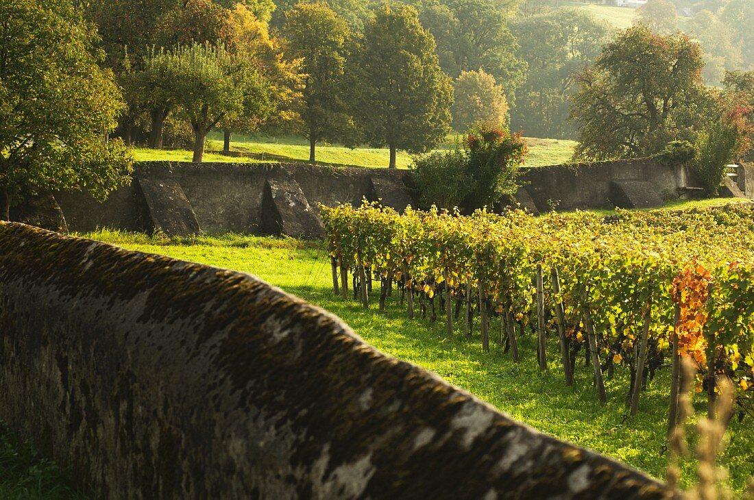Vineyard surrounded by walls, Maienfeld, Graubünden, Switzerland