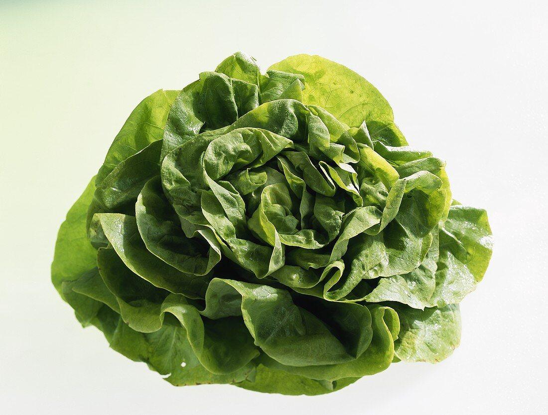 Head lettuce (Lactuca sativa var. capitata)