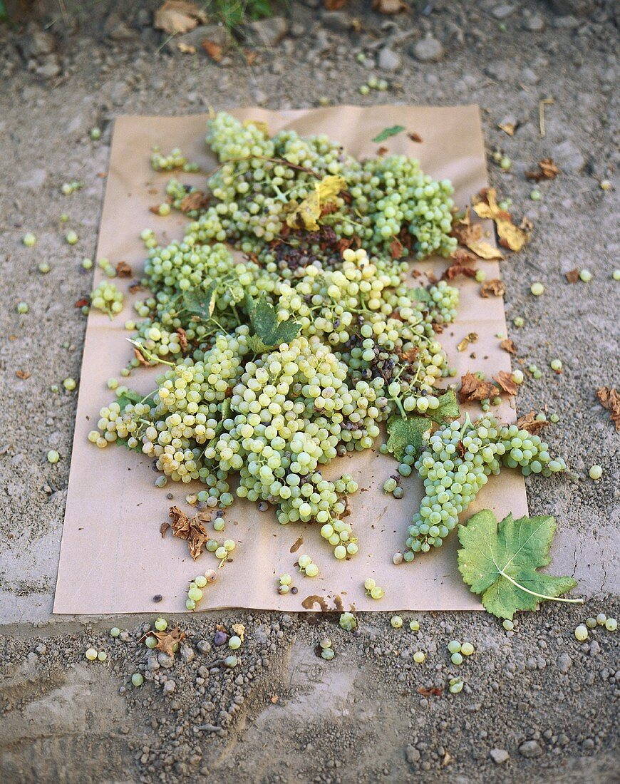 Green grapes drying on paper