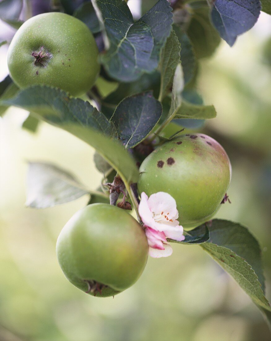 Green apples and apple blossom on the tree