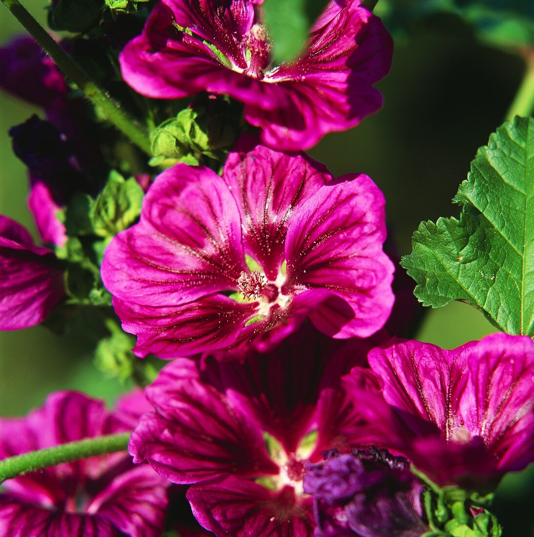 Violet mallow flowers (close-up)