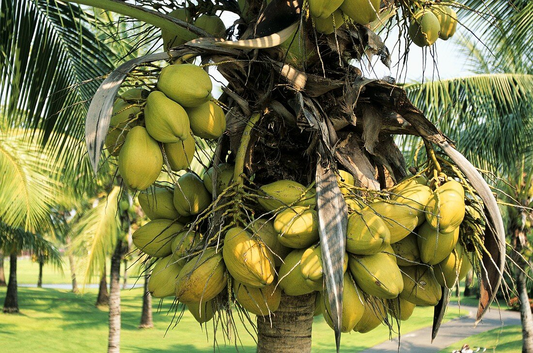 Coconuts on the palm (Thailand)