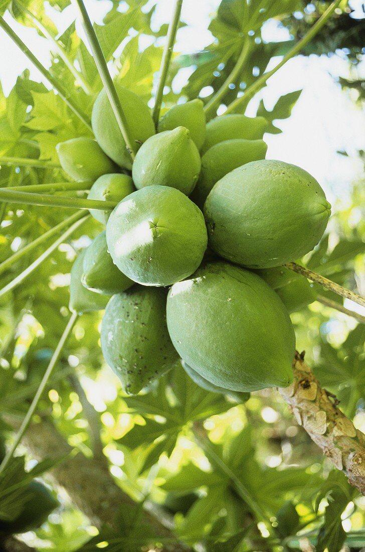 Papayas on the tree