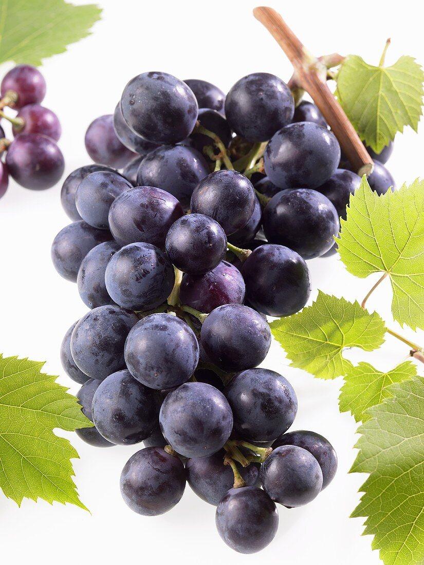 Black grapes on branch