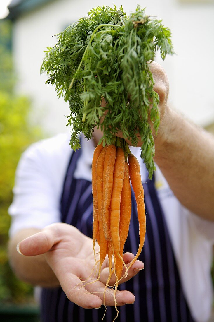 Chef holding a handful of young carrots