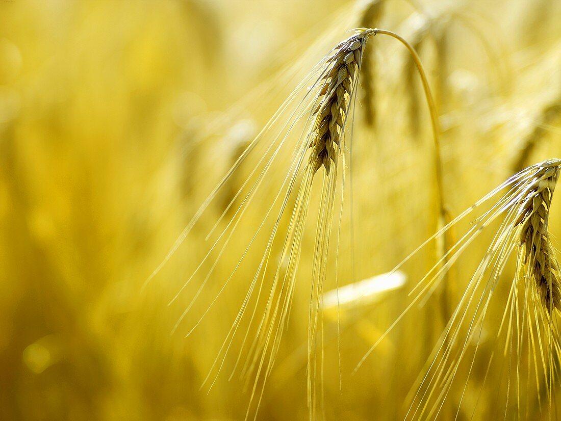 Two ears of barley in the field
