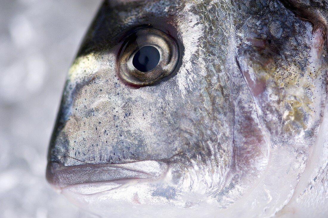 Head of a sea bream