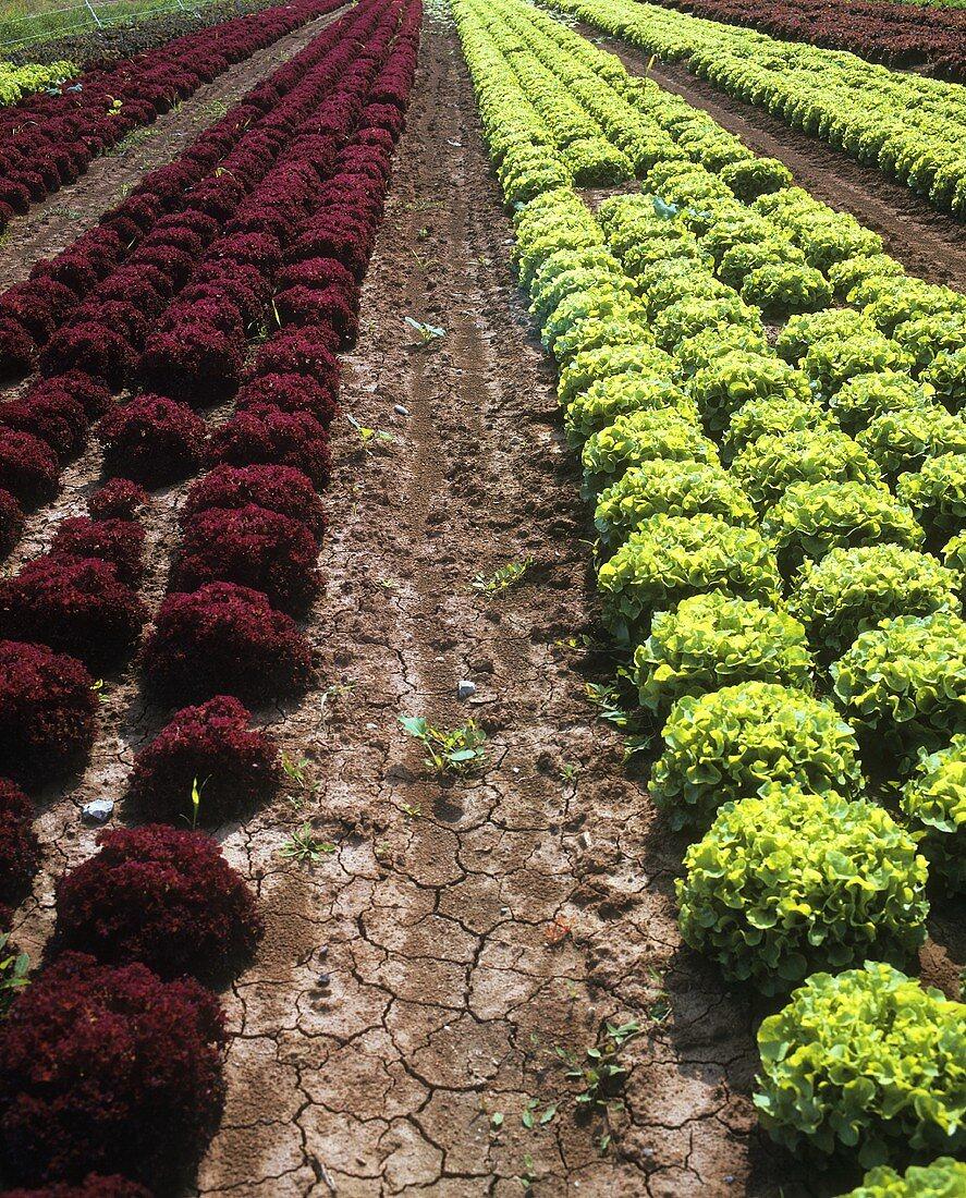 Lettuce field (Lollo rosso and oak leaf lettuce)