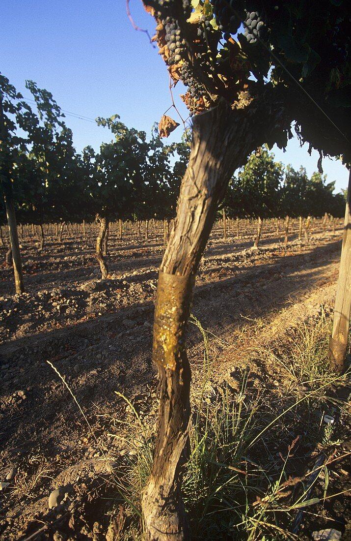 Vineyard of Bodega Vina Almaviva, Maipo Valley, Chile