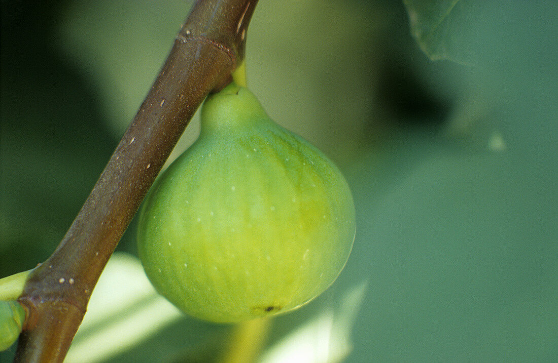 Fig on the tree (Greece)