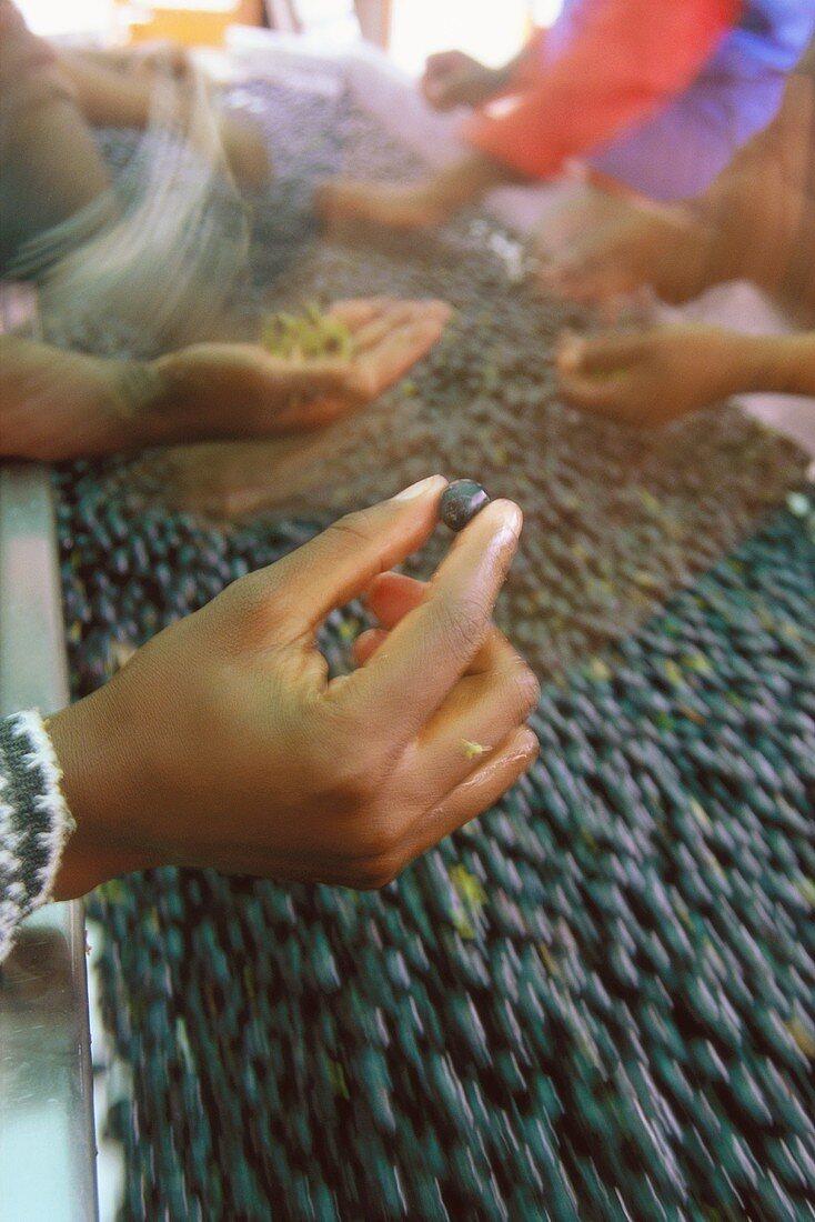 Picked grapes on conveyor belt, Morgester, Helderberg, S.Africa
