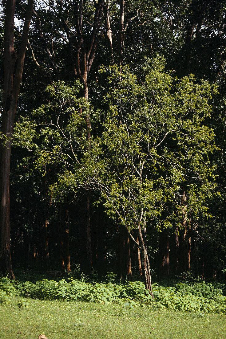 Weisser Sandelholzbaum (Santalum album L, White Sandal tree)