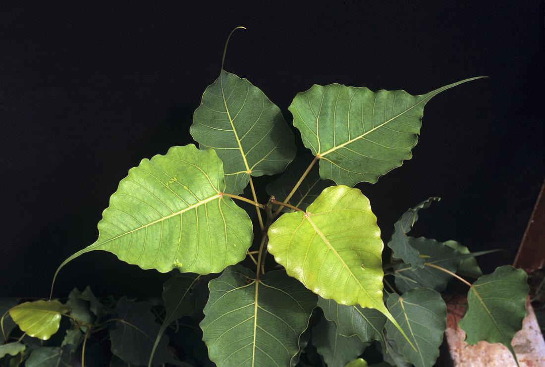 Sacred fig (Bodhi tree, Ficus religiosa)