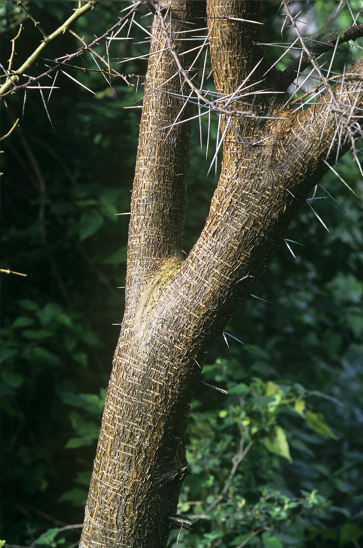Trunk of a gum arabic tree (Acacia arabica Wild)
