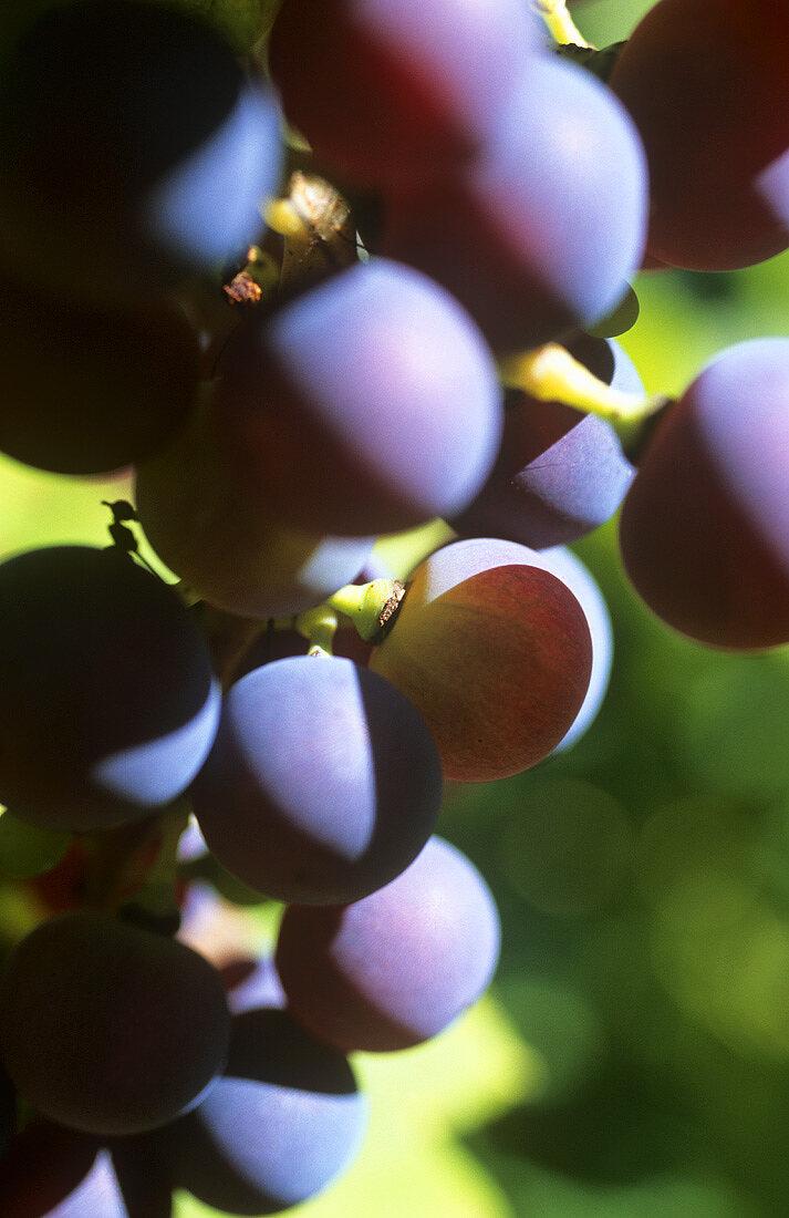 Veraison (When grapes change colour during ripening)