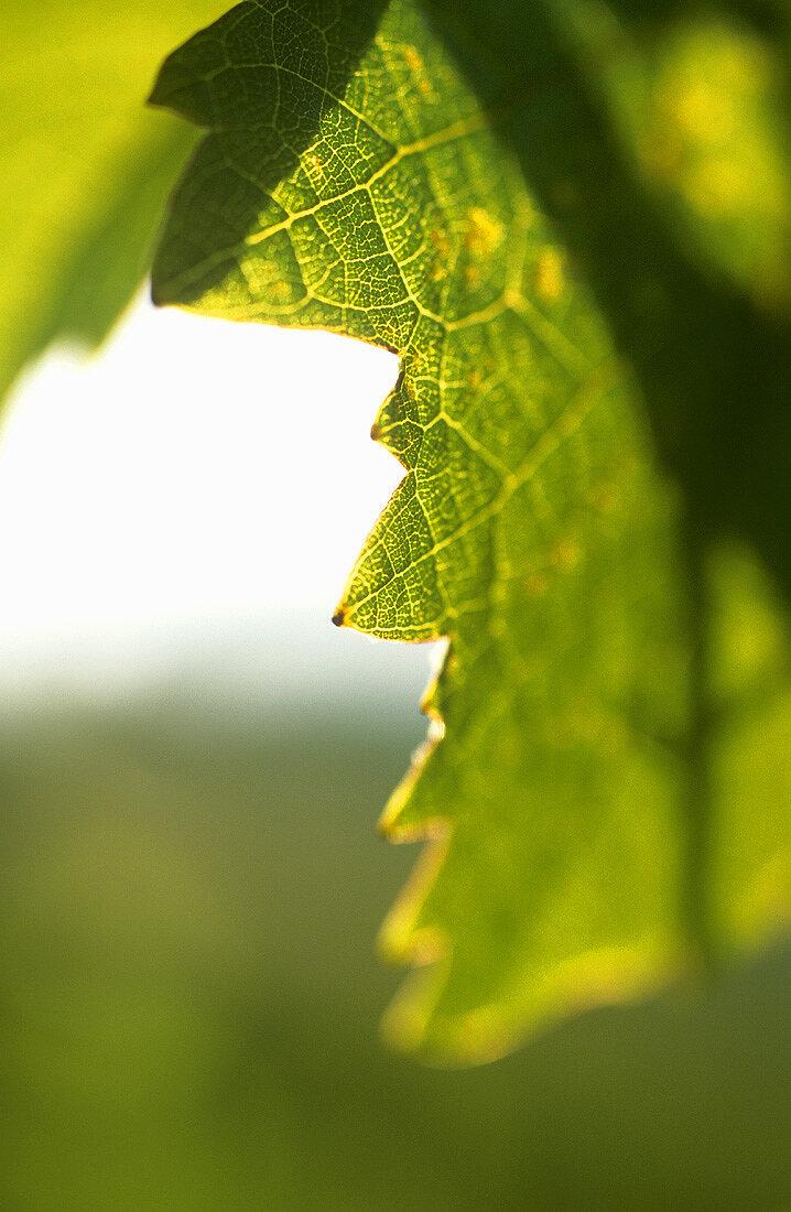 Vine leaf (close-up), Schoden, Mosel-Saar-Ruwer, Germany