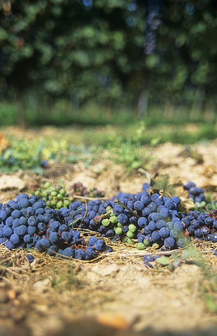 Green harvest (removal of superfluous grapes)
