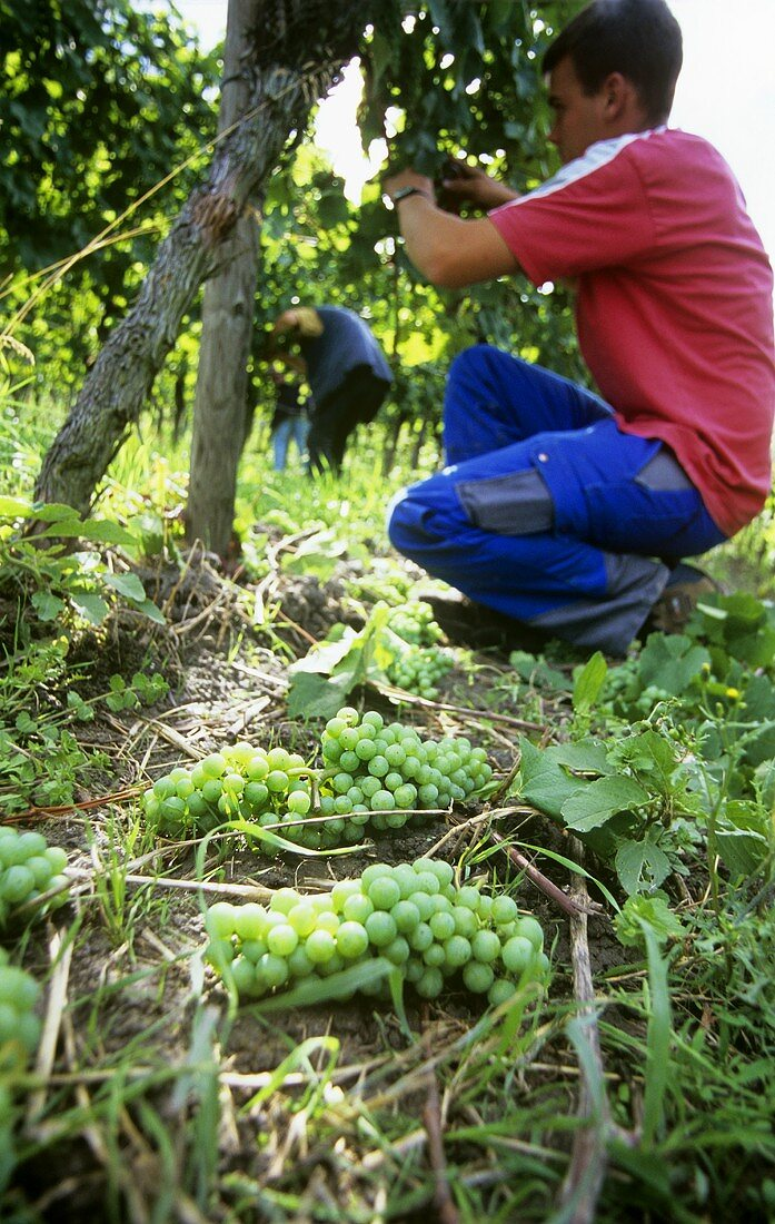 Green harvest (removal of immature grapes)