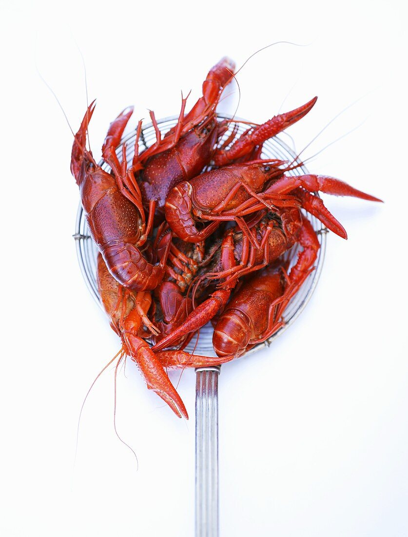 Cooked freshwater crayfish on a straining spoon