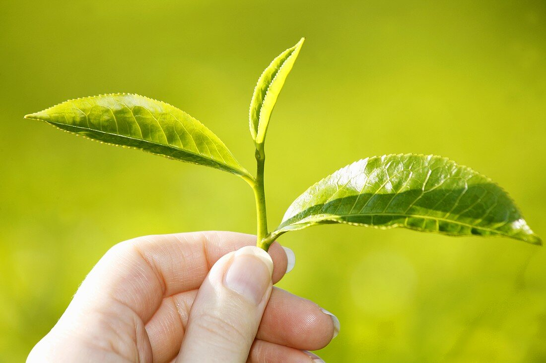 Hand holding fresh tea leaves (Cameron Highlands, Malaysia)