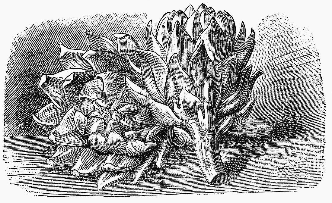 Artichokes (Illustration)