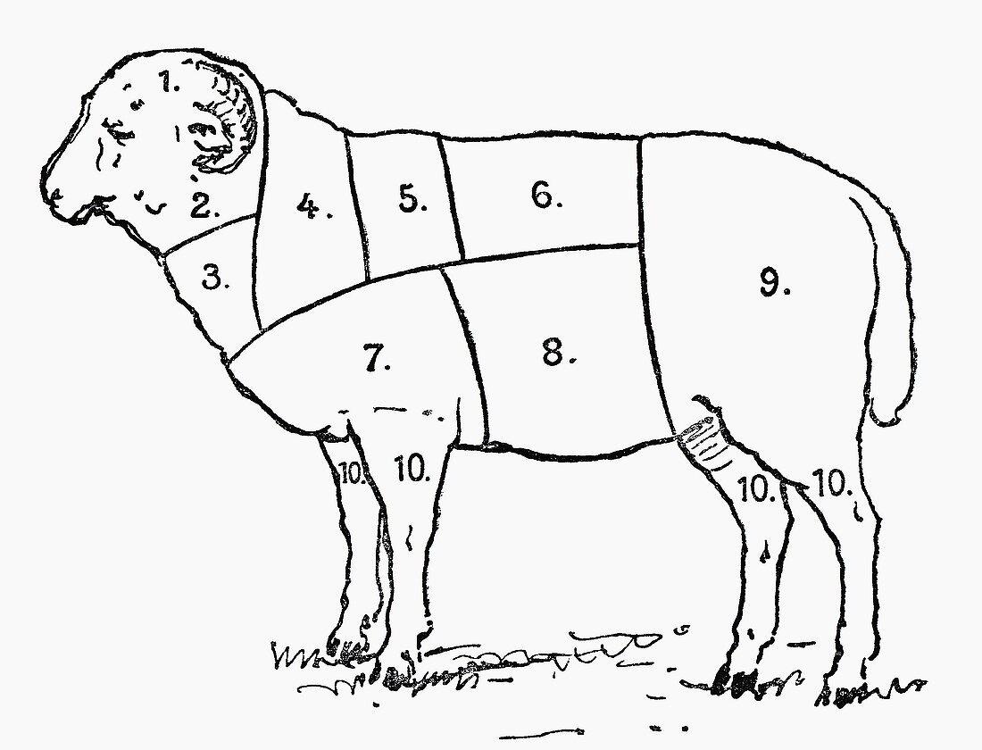 Ram (Illustration)