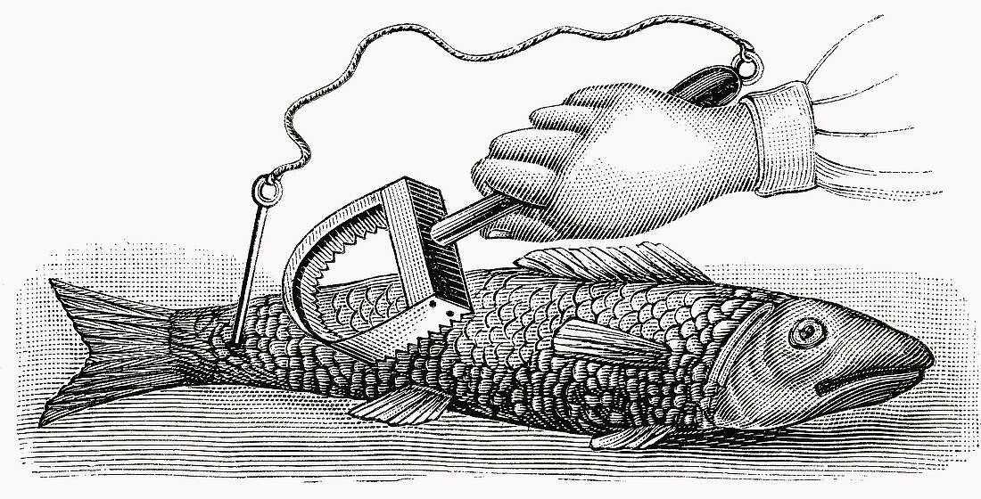Scaling fish (Illustration)