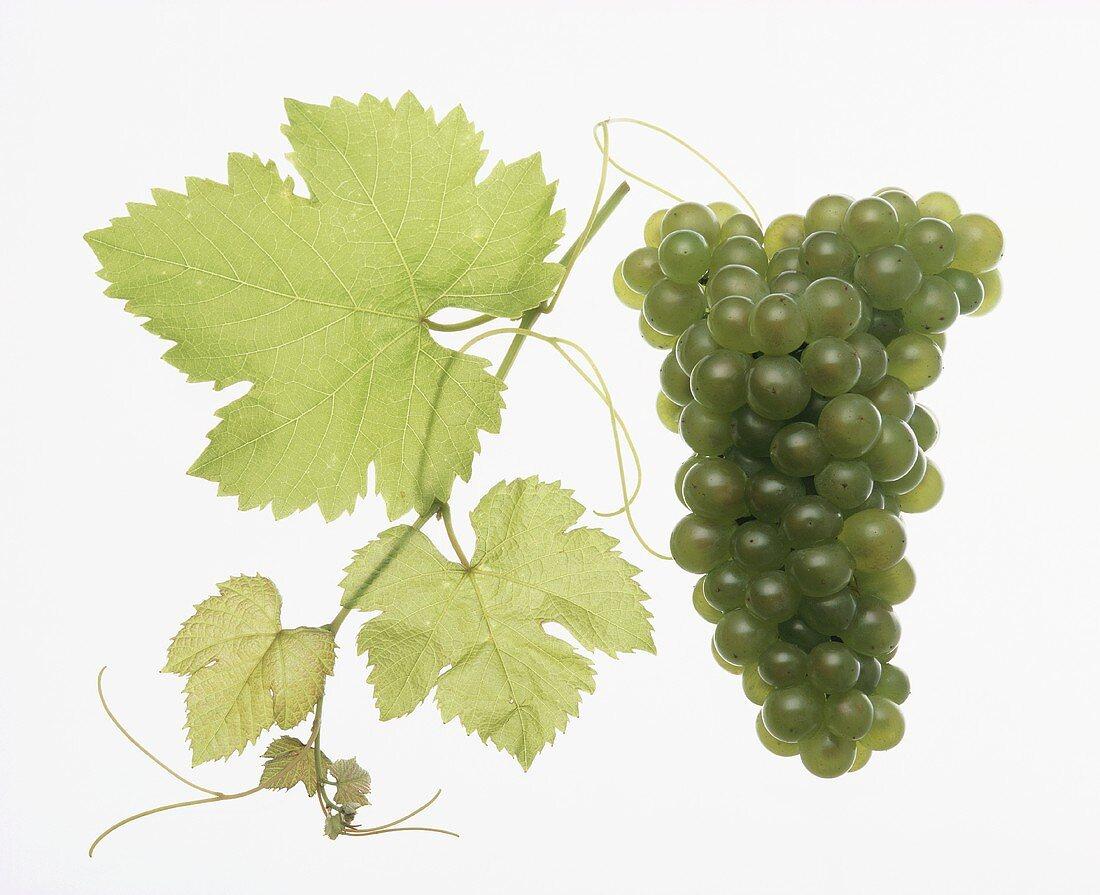 Weissburgunder grapes
