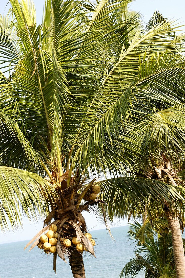 Palm trees with coconuts (Thailand)