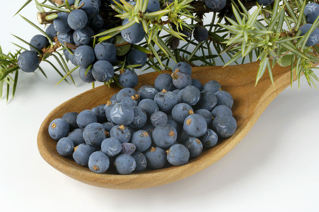 Fresh juniper berries and branches
