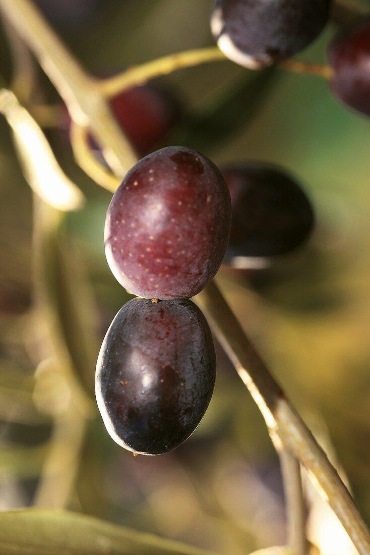 Black olives on a tree, Perugia, Umbria, Italy
