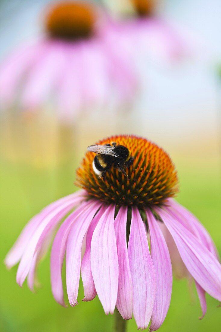 A bumblebee on an echinacea purpurea flower (close-up)
