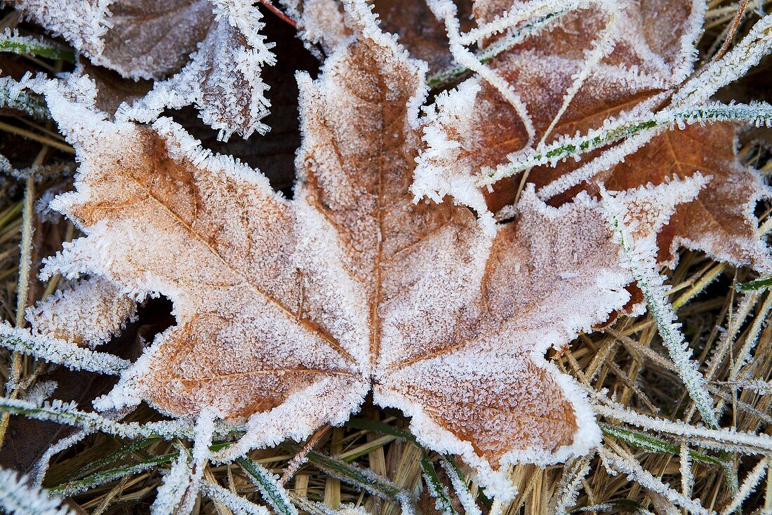 Autumnal leaves covered with frost