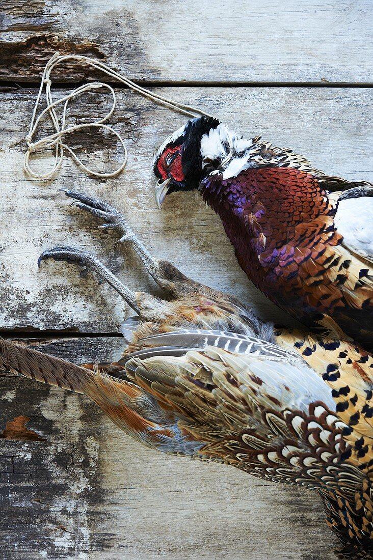 Zwei tote Fasanen mit bunten Federn