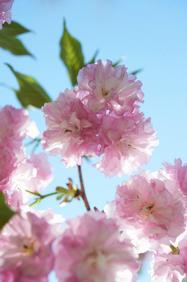 Kwanzan Flowering Cherry Tree; Close Up; Blue Sky