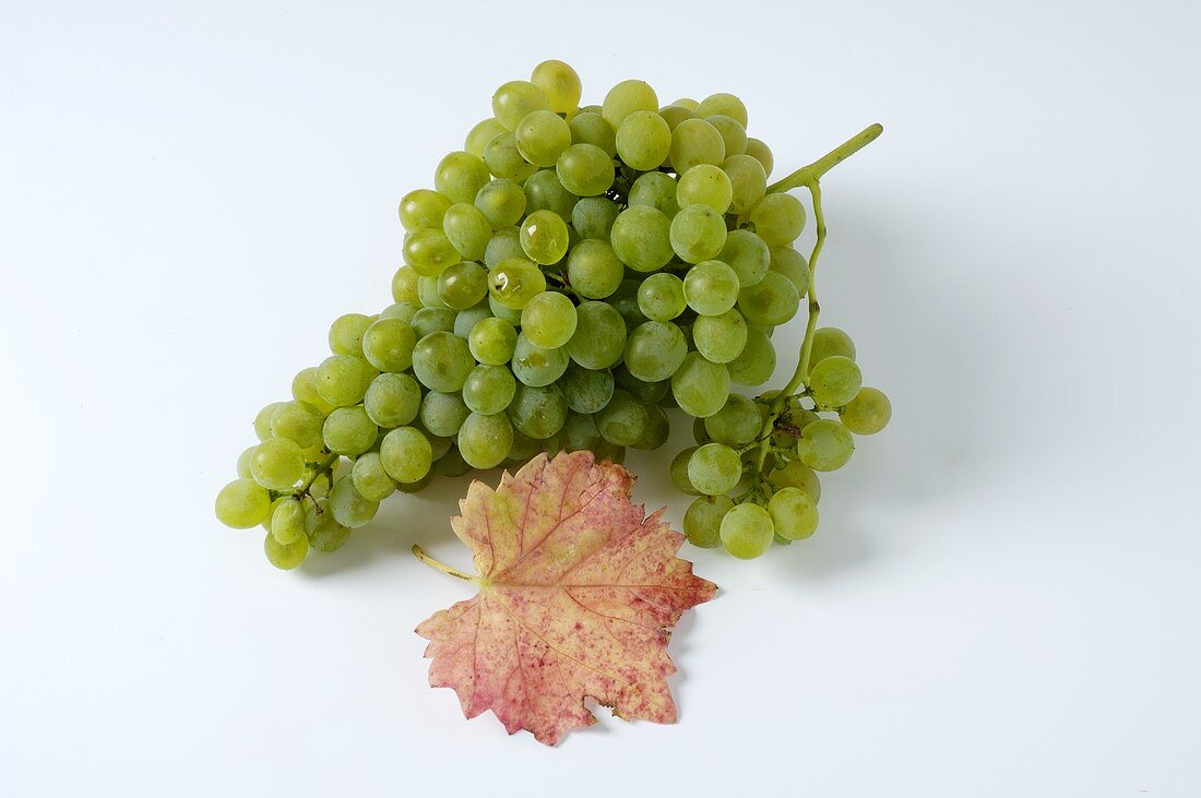 Green grapes, variety Précoce de Malingre, with leaf