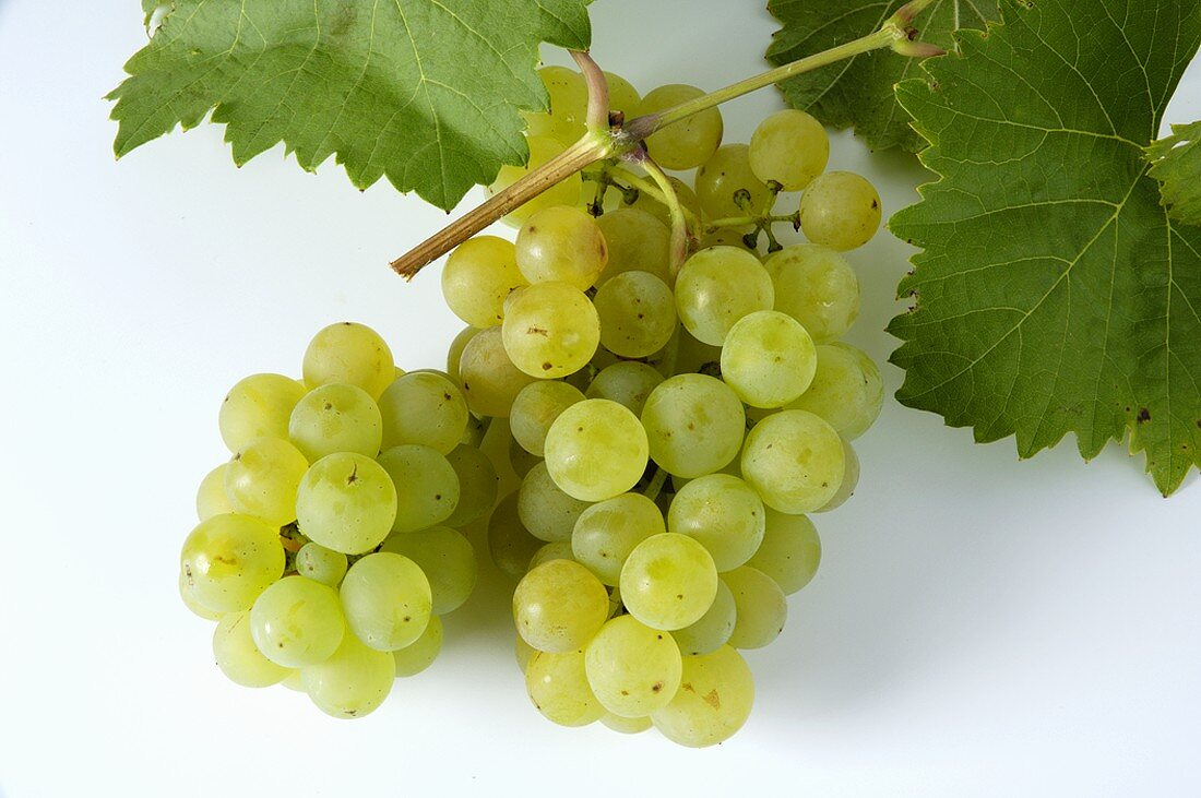 Green grapes, variety Bachus, with leaves
