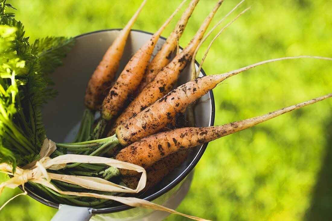 Young carrots in a strainer (out of doors)