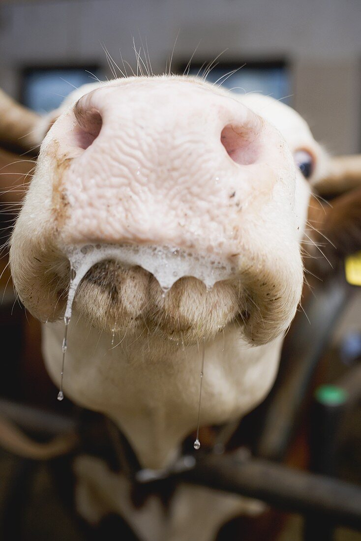 Cow in stall (close-up of mouth)