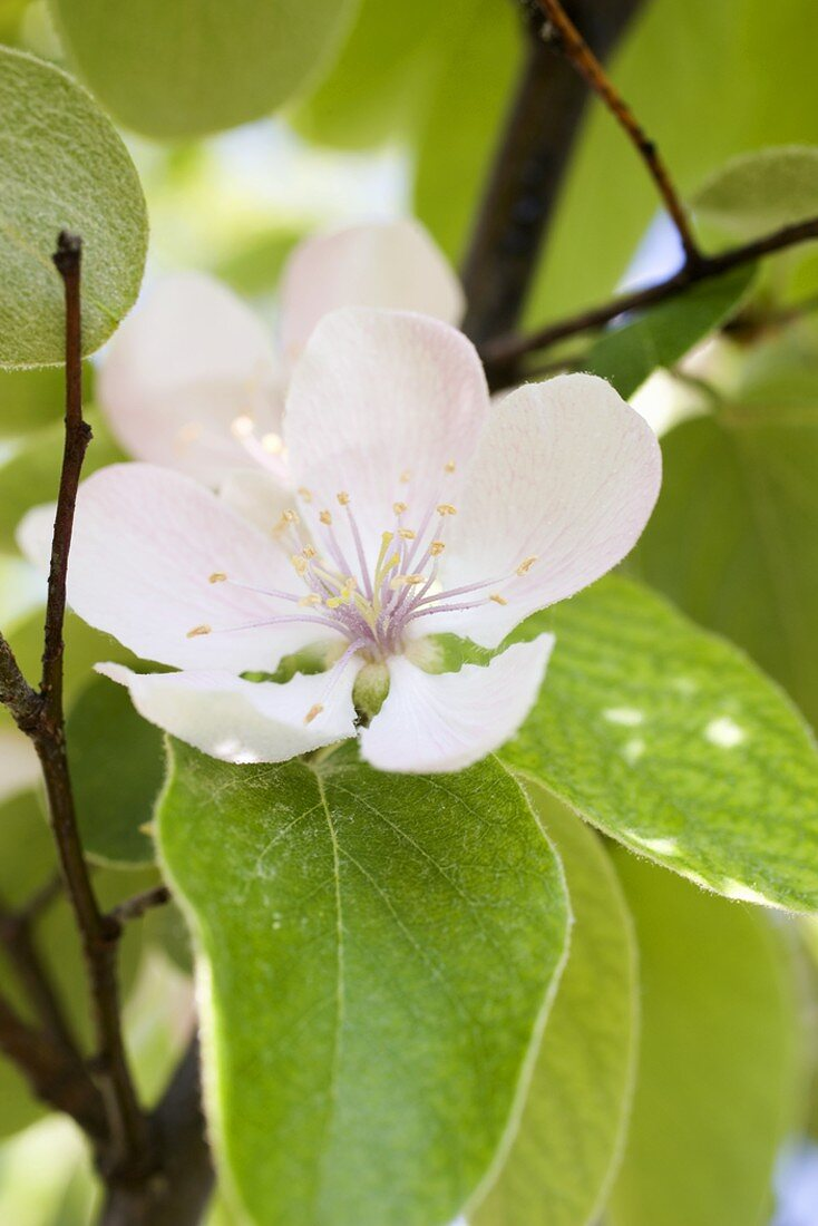 Almond blossom on the tree