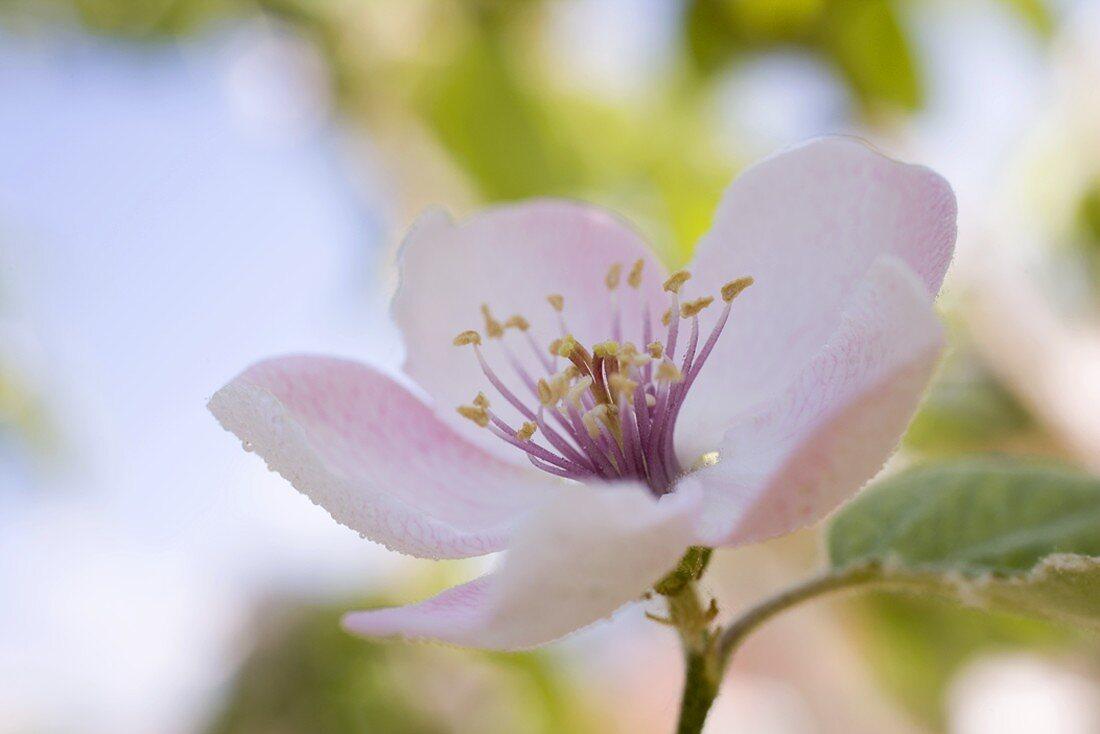 Almond blossom on branch