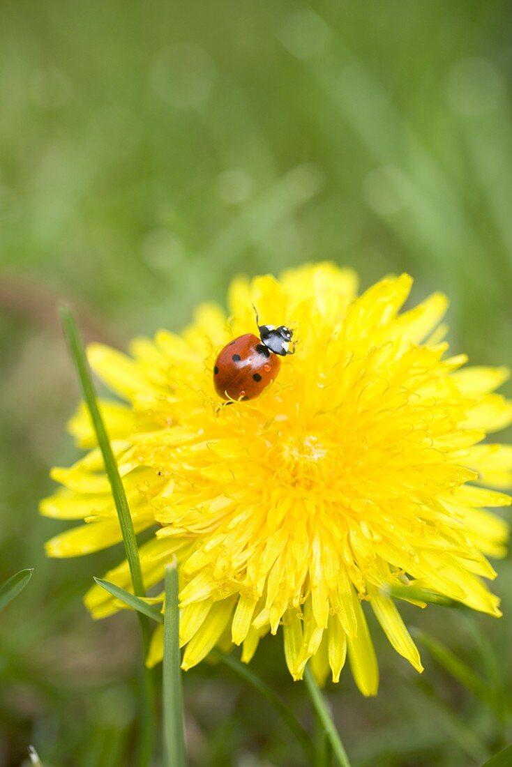 Dandelion flower with ladybird