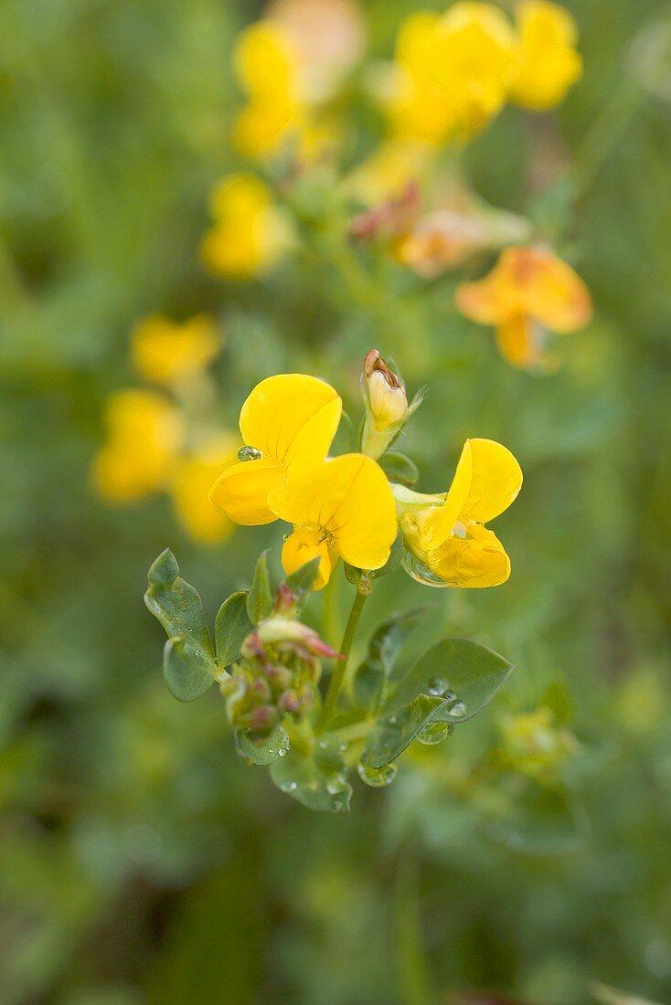 Horseshoe vetch flowers