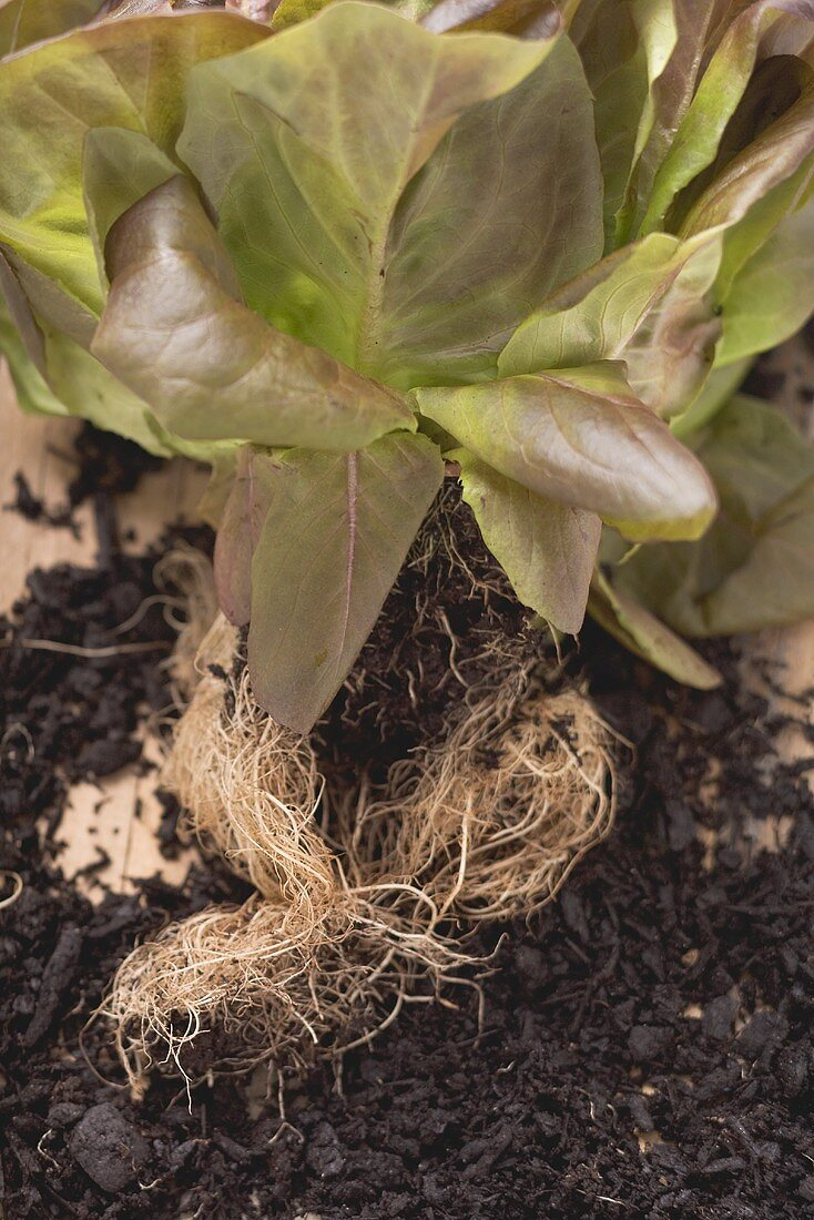 Red lettuce plant with roots and soil