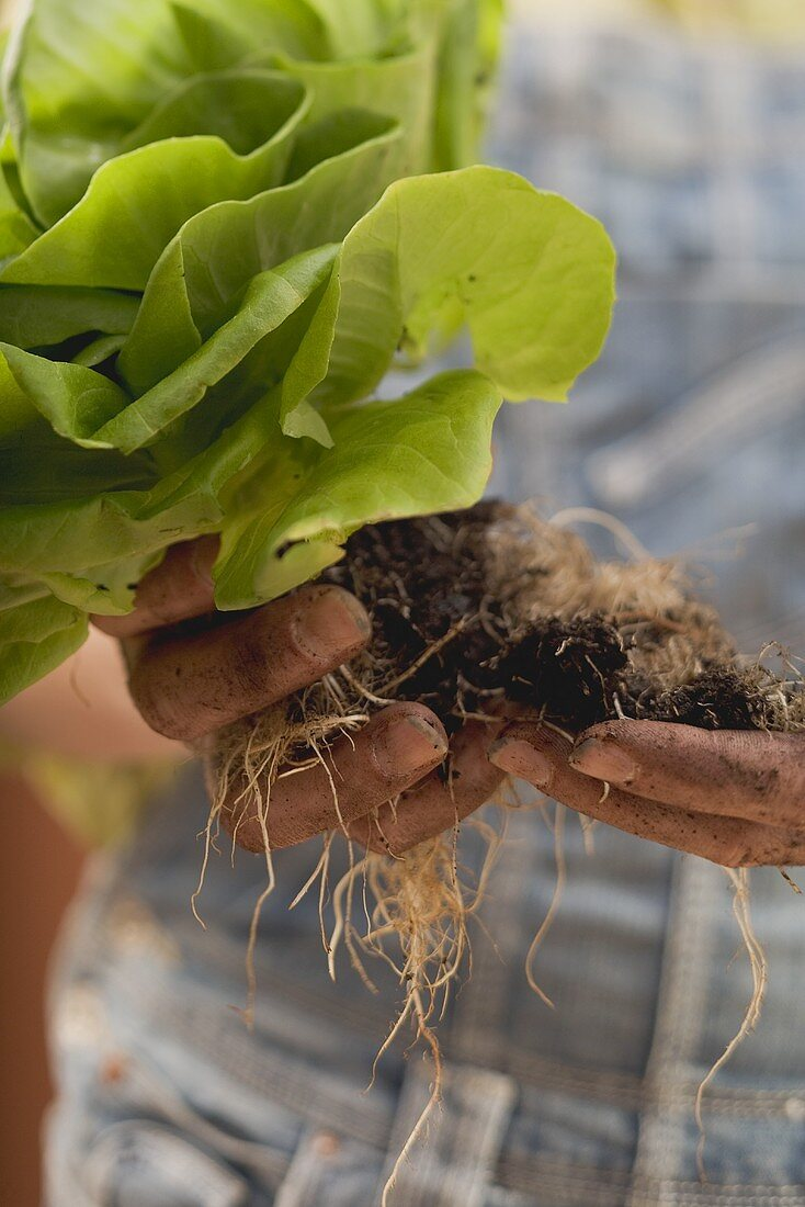 Hands holding lettuce plant with roots and soil