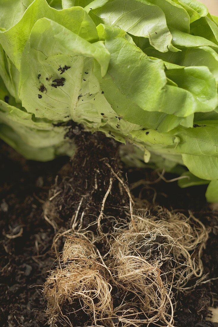 Lettuce plant with roots and soil