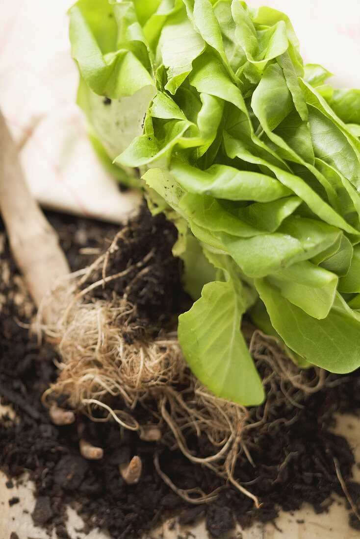 Lettuce with roots and soil, garden tool beside it